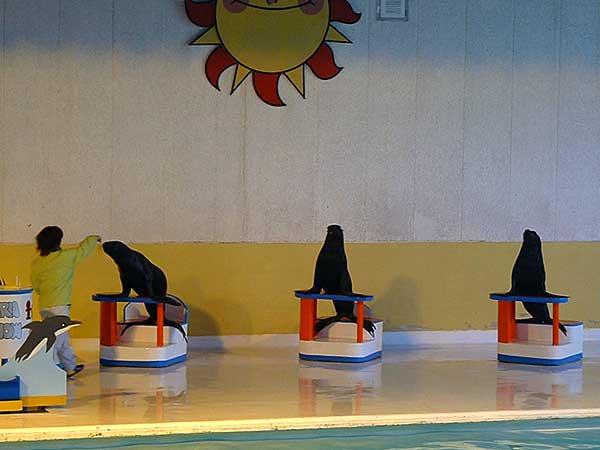 小樽水族館写真画像1 その4 オタリアのショー