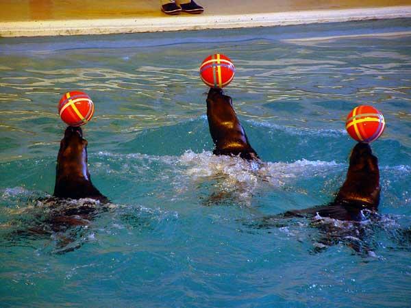 小樽水族館写真画像1 その5 オタリアのショー
