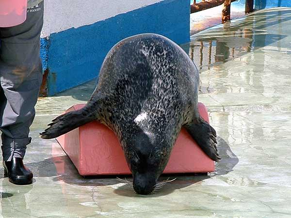 小樽水族館写真画像1 その9 アザラシのショー