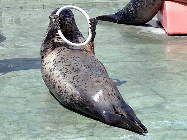 小樽水族館写真画像1 その10 アザラシのショー