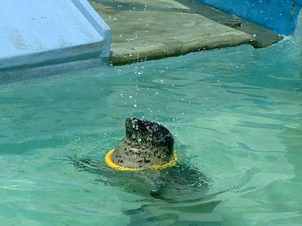 小樽水族館写真画像1 その14  アザラシのショー