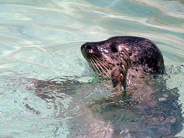小樽水族館写真画像1 その15 アザラシのショー