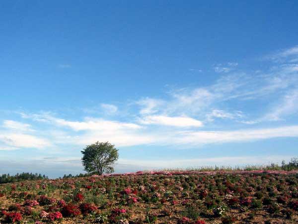 北海道風景写真画像 美瑛 四季彩の丘2