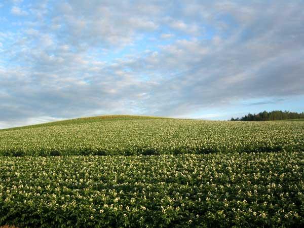 北海道風景写真画像 美瑛 ジャガイモ畑1