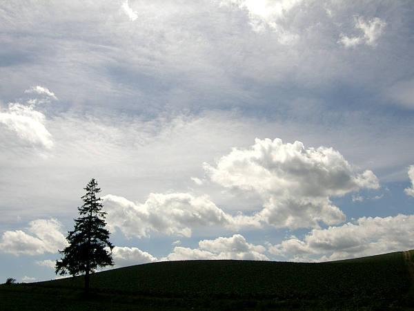 北海道風景写真画像 美瑛 クリスマスツリーの木